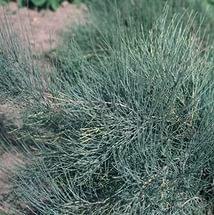 Эфедра хвощевая (хвойник хвощевой)