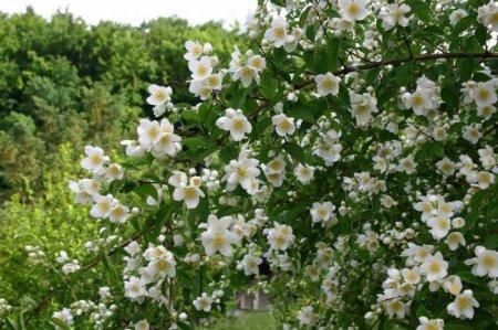 Кратко о жасмине (Jasminum)