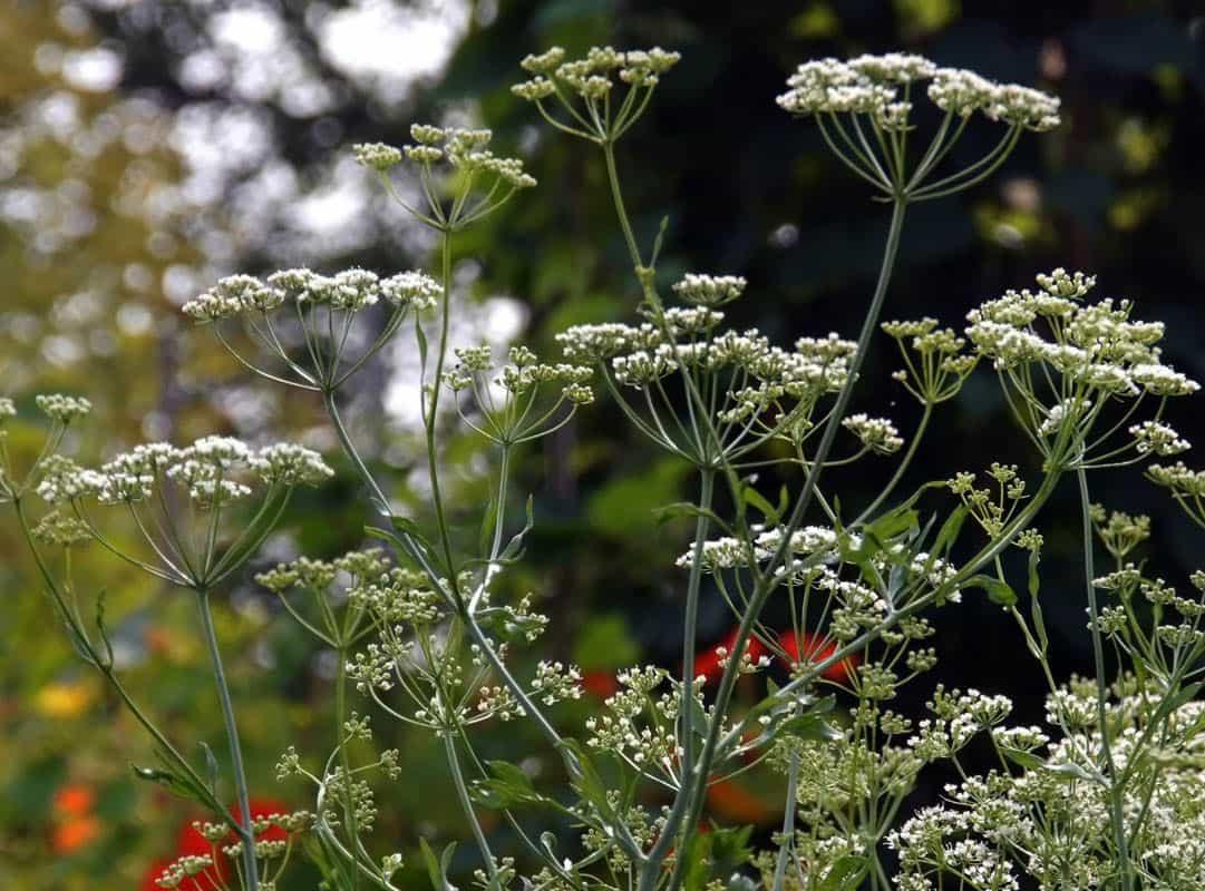 также растения как приправы зонтичные фото мне