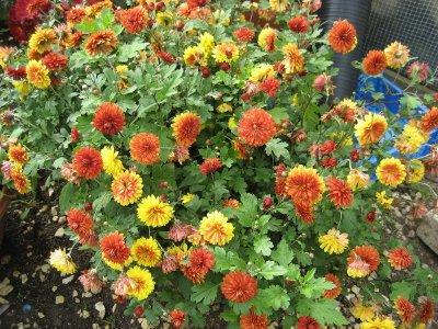 Хризантема индийская (золотоцвет индийский)