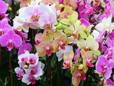 Всё об орхидее Orchidaceae
