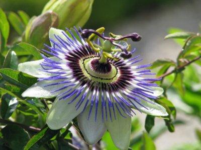 Подробнее о Пассифлоре (страстоцвет) Passiflora