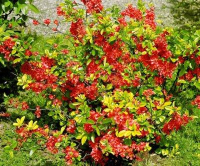 Садовые растения. Айва японская.